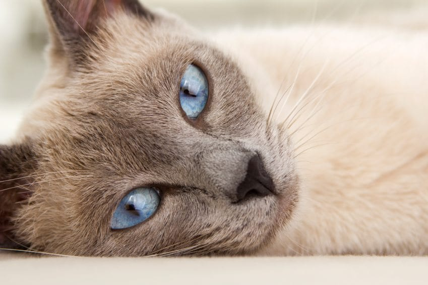 Face of Siamese Relaxing