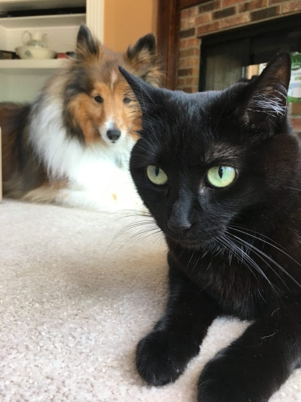 black cat with sheltie