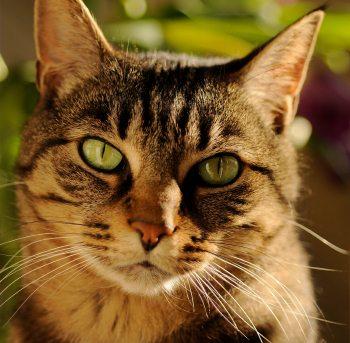 cat large pupils