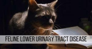 feline lower urinary tract disease