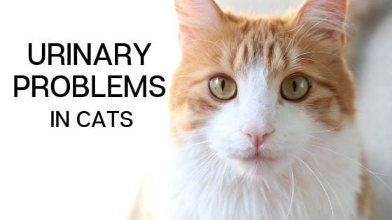 Feline Urinary Tract Disease, Signs of and symptoms & causes