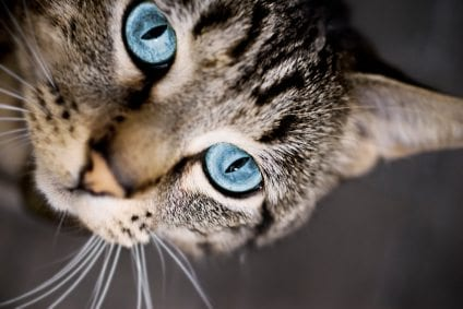 what is bunting behavior in cats