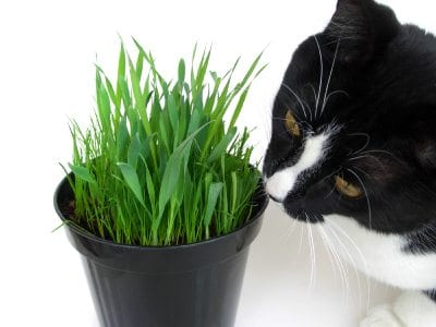 why does my cat eat grass
