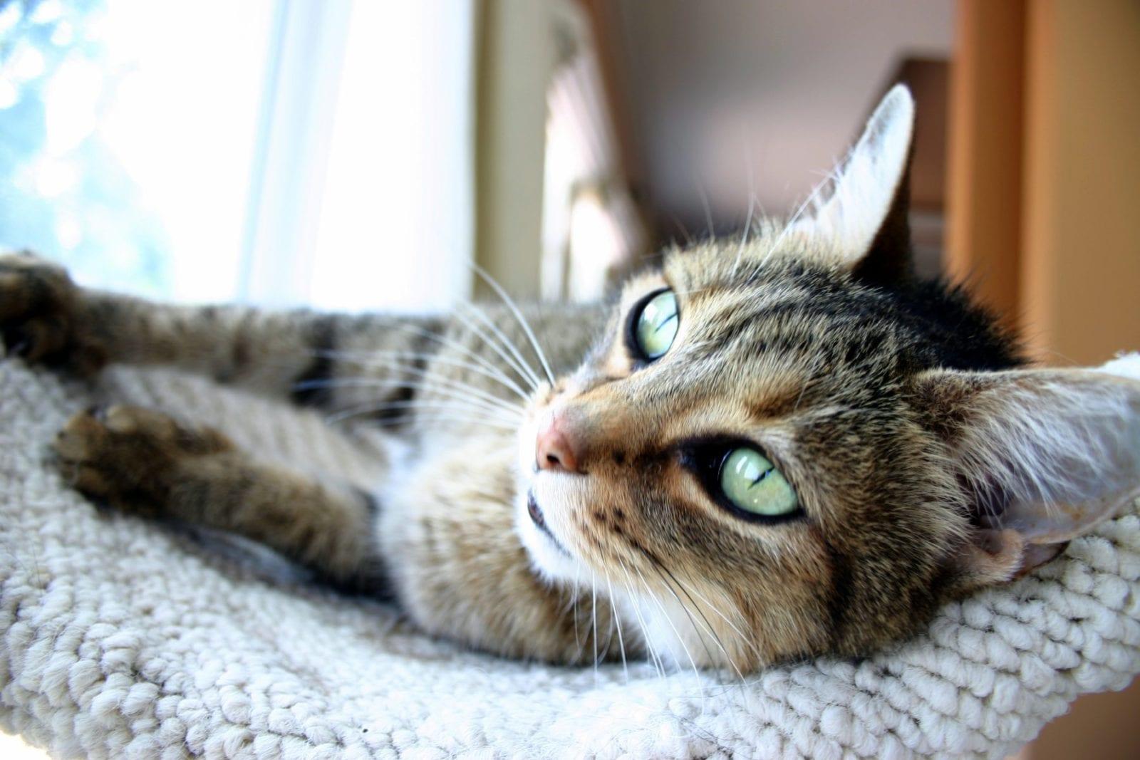 cat relaxing in cat tree
