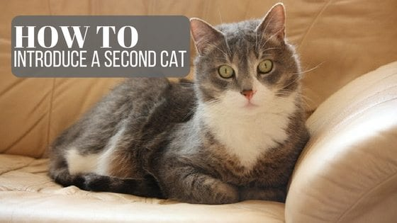 how to introduce a second cat