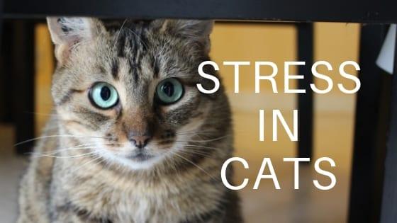 Cat Behavior   Stress in Cats