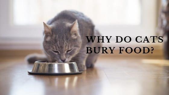 Cat Behavior | Why Do Cats Bury Food?