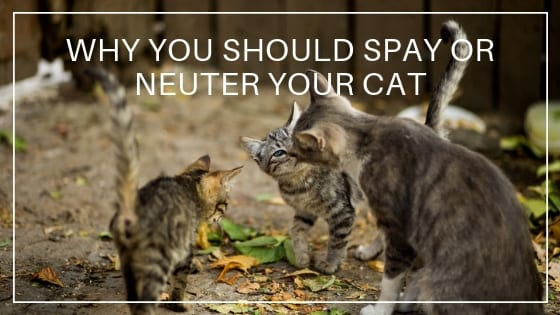 Cat Care | Why You Should Spay or Neuter Your Cat
