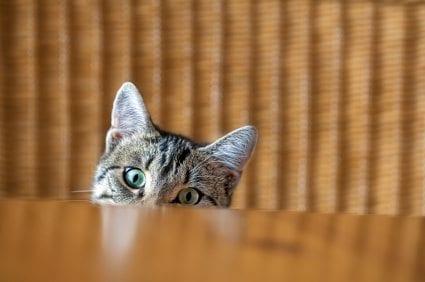 kitten peeking