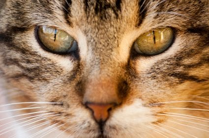 zyrtec dosage for cats
