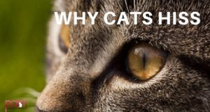 why cats hiss