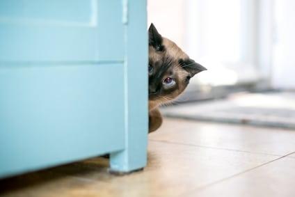 siamese cat peeking around cabinet