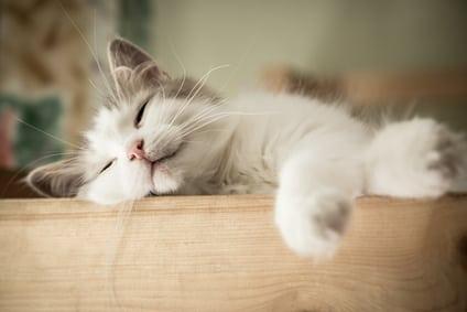 sleeping white and gray cat