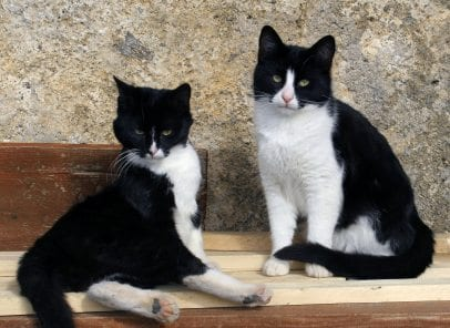 two black and white cats