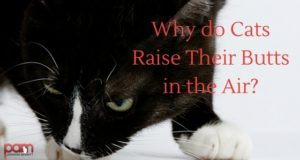 why do cats raise their butts in the air?