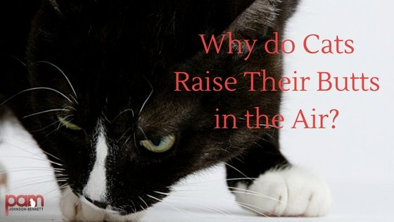 why do cats raise their butts in the air