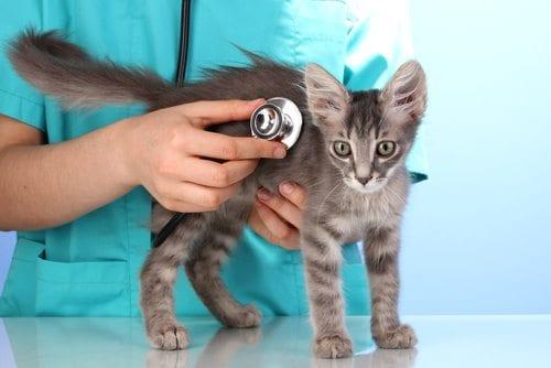 gray kitten at the veterinary clinic
