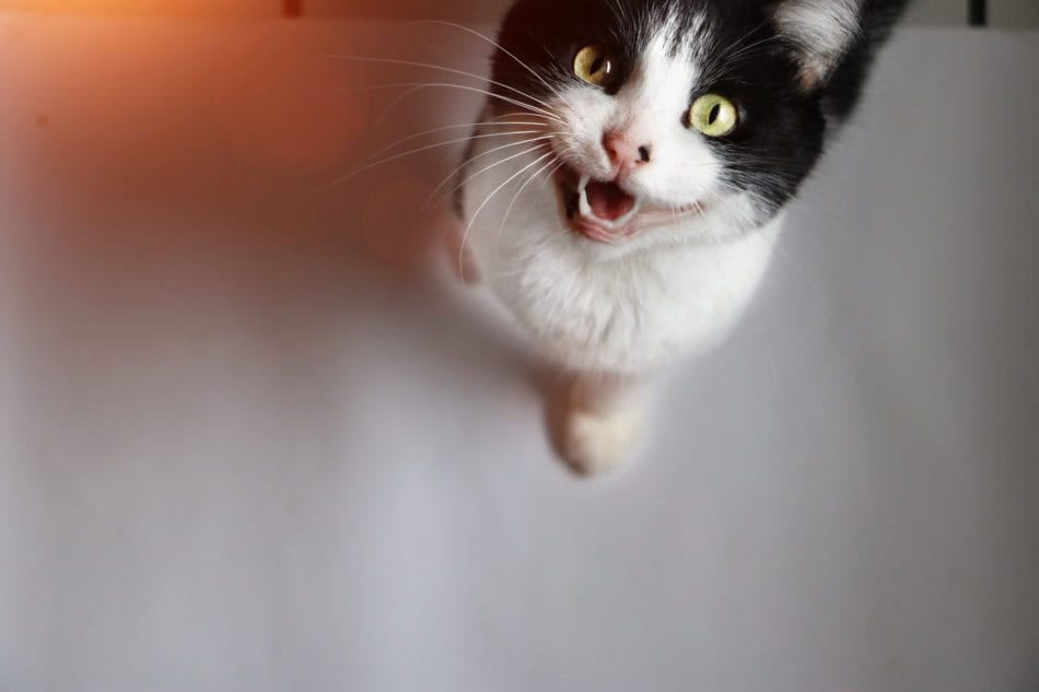 black and white cat meows at camera