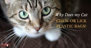why does my cat chew or lick plastic bags?