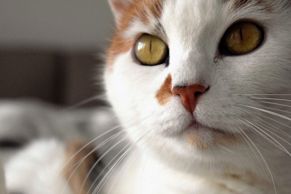 close up of cat with white muzzle