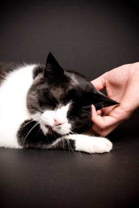 black and white cat being petted