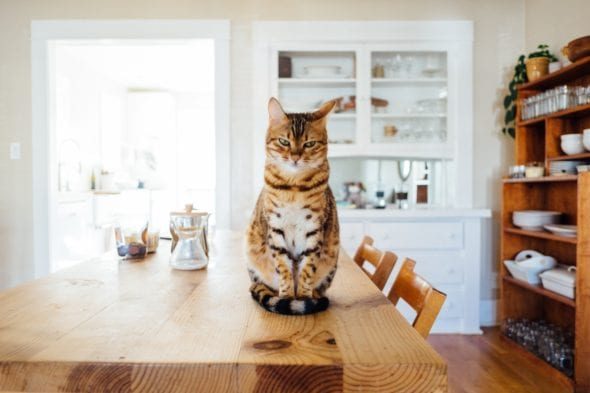cat sitting on kitchen table