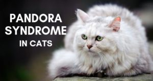 pandora syndrome in cats title image